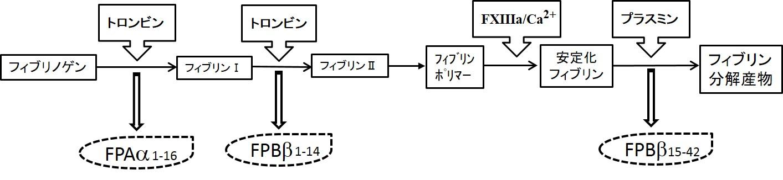 <b>図 フィブリノペプチドA(FPA)、フィブリノペプチドB(FPA) の生成機序</b><br> フィブリノゲンはトロンビンにより、まずFPAα1-16が遊離し、フィブリンモノマー(フィブリンI)が生成する。次に、トロンビンの作用によりFPBβ1-14が遊離し、フィブリンIIが生成する。フィブリンIIはフィブリンポリマーを形成後、活性化第XIII因子とカルシウムイオンの作用により、安定化フィブリンが生成する。プラスミンは安定化フィブリンからFPBβ15-42を遊離する。