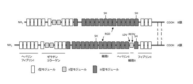<B>フィブロネクチンの模式図</B><BR>I, II, III型モジュールから構成され、モジュールの集合でヘパリン、フィブリン、インテグリンなどに結合する機能ドメインを形成する。RGD(Arg-Gly-Asp)配列、LDV(Leu-Asp-Val)配列、REDV(Arg-Glu-Asp-Val)配列。
