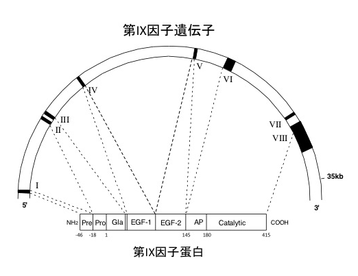 図1 第IX因子遺伝子/蛋白構造