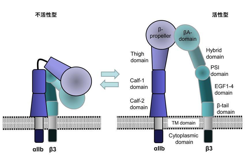 αIIbβ3は通常、不活化状態にあるが(左)、活性化に伴い構造変化し活性型となる(右)。
