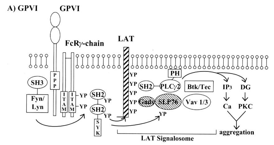 図 GPVI (井上克枝.日本血栓止血学会誌.17 (1) :12-19, 2006 から引用)