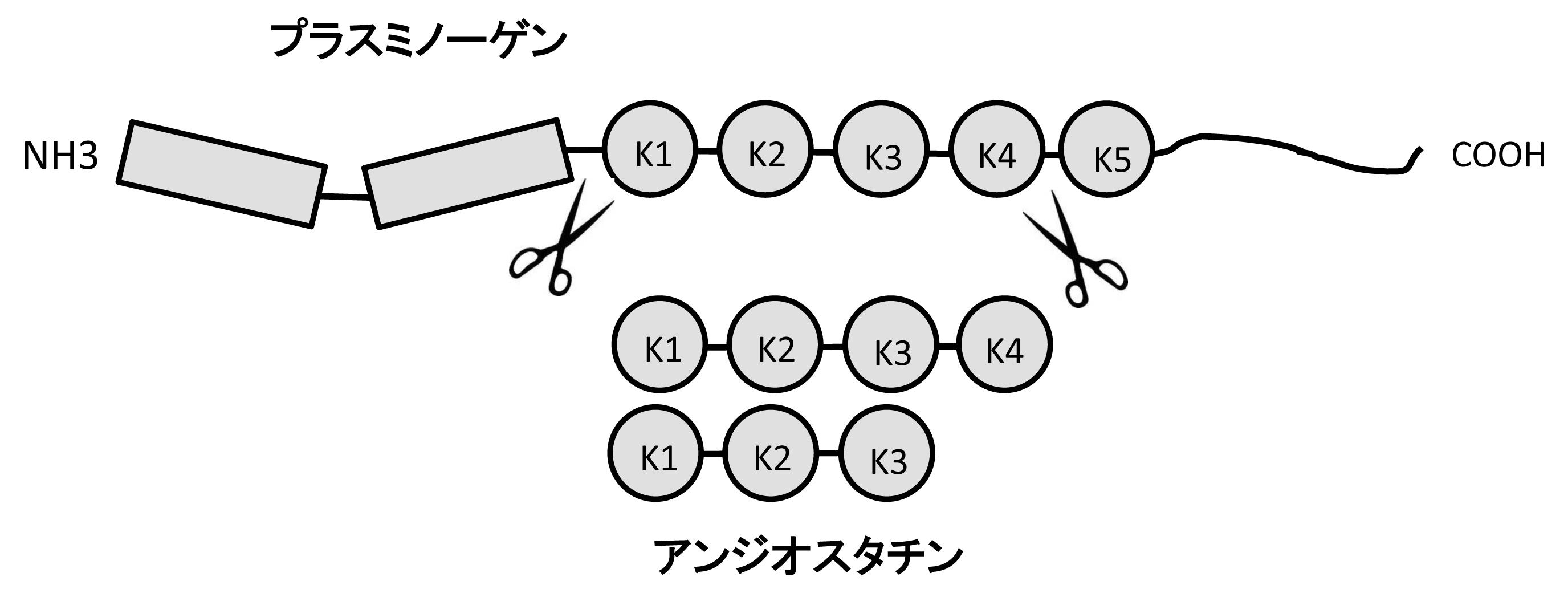 図 プラスミノゲンとアンジオスタチン:アンジオスタチンは、プラスミノゲンにコードされている5つのクリングル構造のうち1から4、または1から3まで断片である。(血管生物医学辞典,朝倉書店,2011より引用)