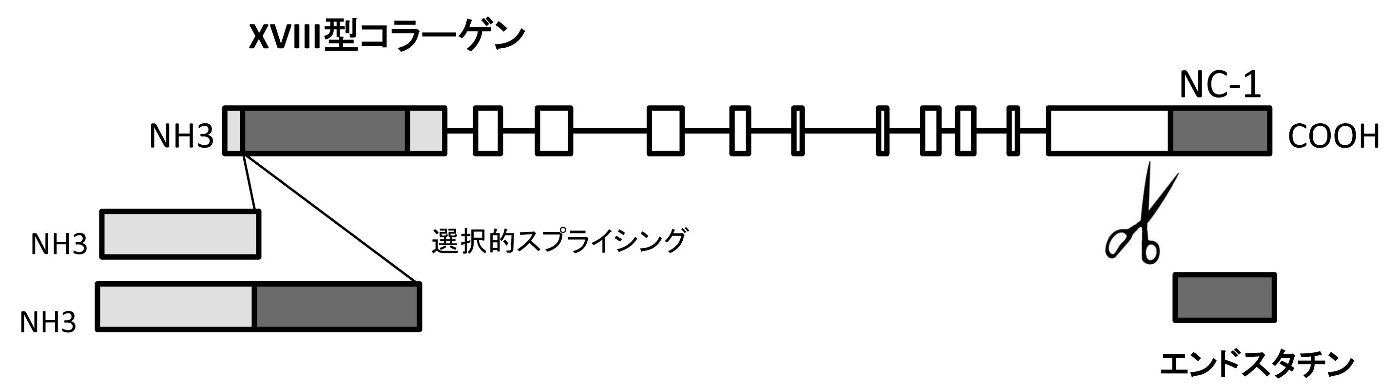 図 XVIII型コラーゲンとエンドスタチン:エンドスタチンは、XVIII型コラーゲンのC末端側にコードされているNC-1ドメインの断片である。(血管生物医学辞典,朝倉書店,2011より引用)