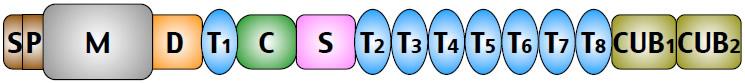 図1.ADAMTS13のドメイン構造