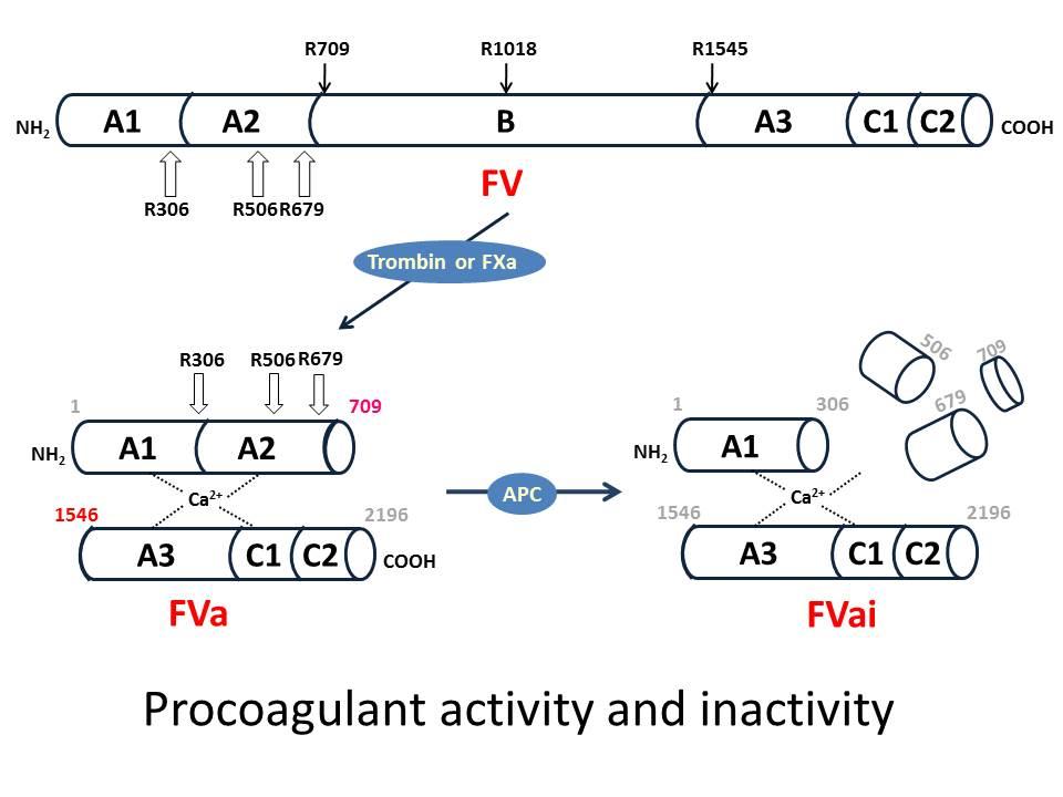 図3 第V因子のprocoagulant機能