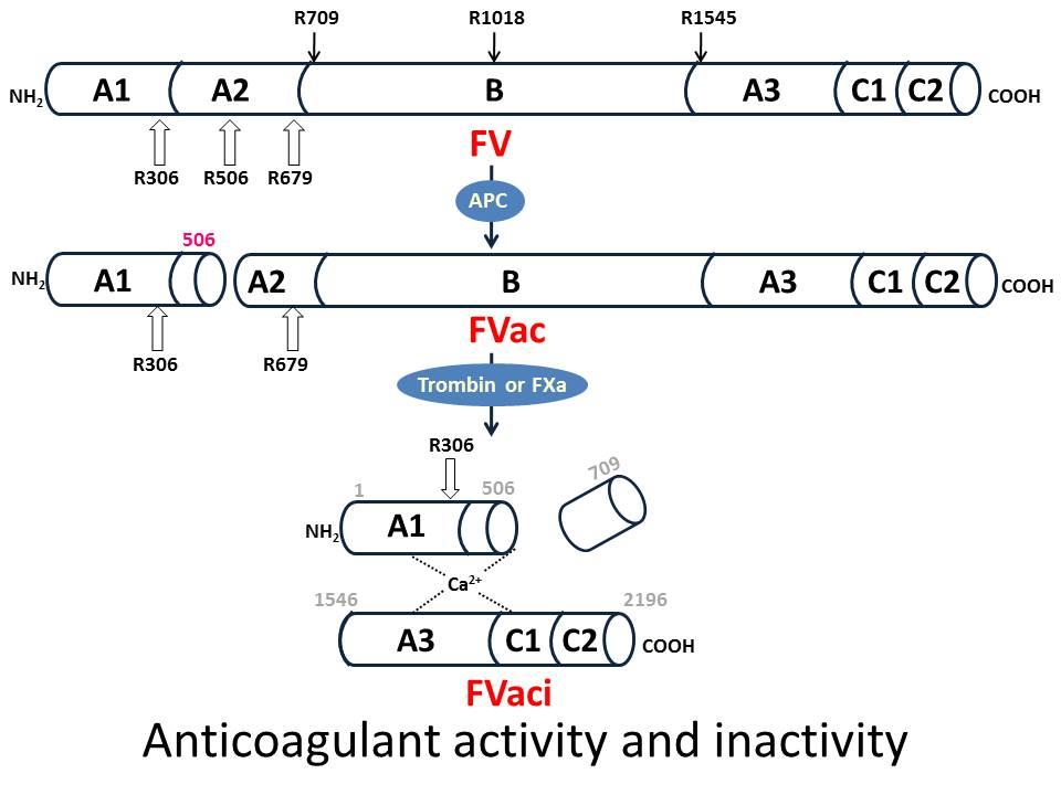 図4 第V因子のanticoagulant機能