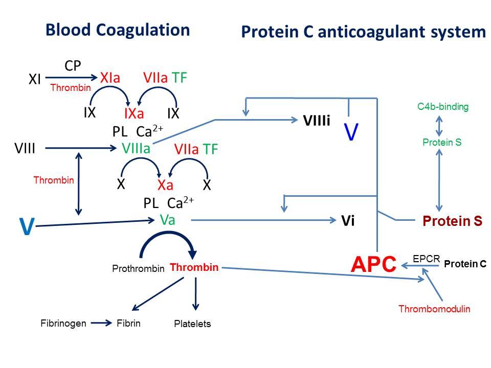 図1 血液凝固系とプロテインC制御系における凝固第V因子