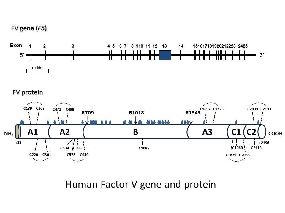 図2 ヒト凝固第V因子遺伝子と凝固第V因子タンパク質
