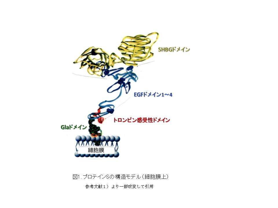 図1. プロテインSの構造モデル(細胞膜上)参考文献1)より一部改変して引用
