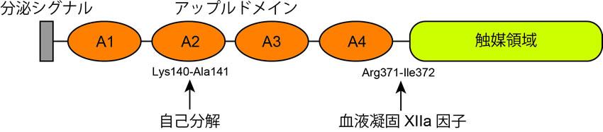図1、血漿プレカリクレインのドメイン構造。血漿プレカリクレインはN末に分泌シグナルを持ち、4つのアップルドメインとC末に触媒領域を持っている。4番目のアップルドメインと触媒領域の間を血液凝固XIIa因子により切断され活性化される。また、2番目のアップルドメイン内を自己の活性により切断することにより、血液凝固活性などが低下する。