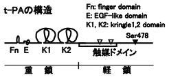 t-PAのドメイン構造