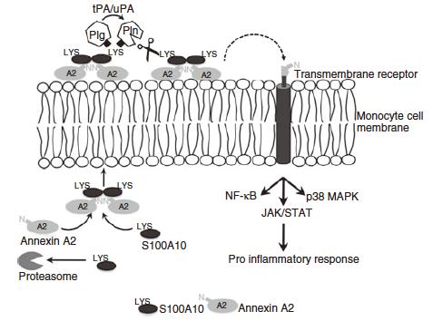 細胞内外でのアネキシンA2とS100A10;プラスミノゲンの活性化と細胞内シグナリング(Godier A, et al. J Thromb Haemost.2013;11:26-34より引用)