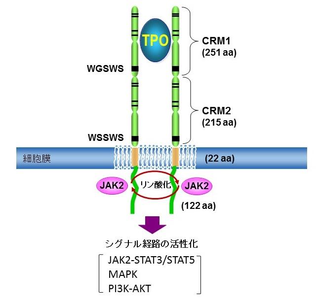 図 トロンボポエチン受容体の構造