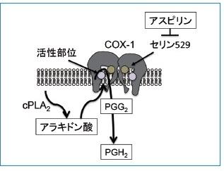 図2 COX-1の構造と機能