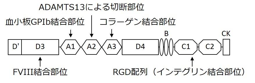 図 成熟VWFサブユニットの構造