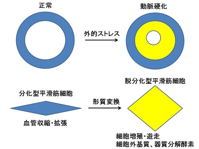 平滑筋細胞図