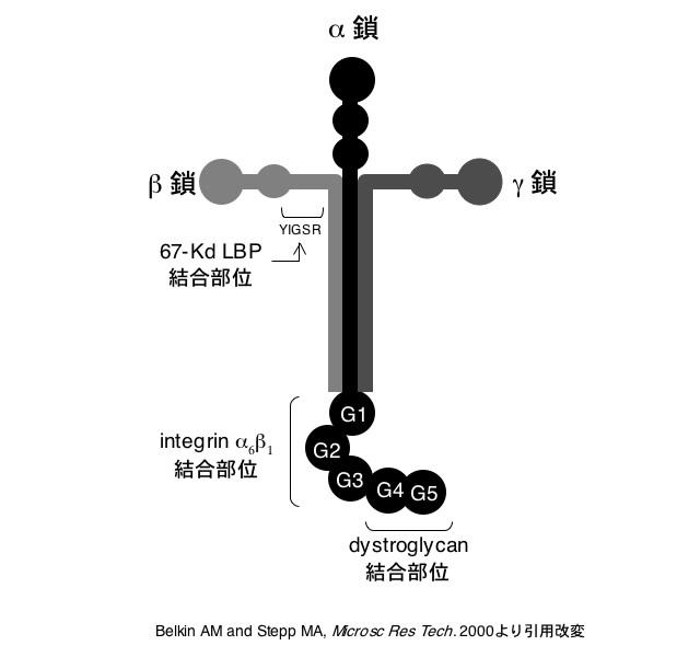 図1 ラミニン
