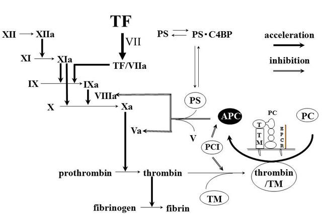 APCの抗凝固作用
