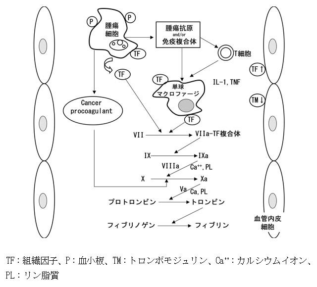 悪性腫瘍に合併した血栓傾向の機序