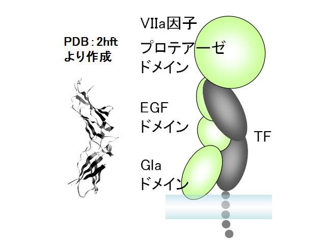 図1 組織因子(TF)細胞外ドメインの立体構造(左)およびⅦa因子との複合体の模式図(右:PDB 1danの複合体構造を基に作成)