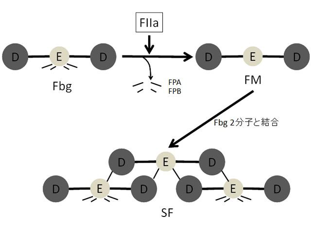図 可溶性フィブリン(SF)の生成