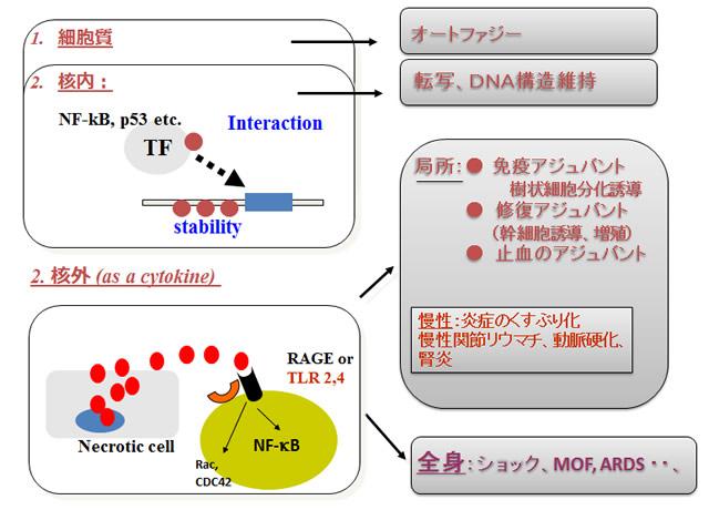 図1.HMGB1の概念図