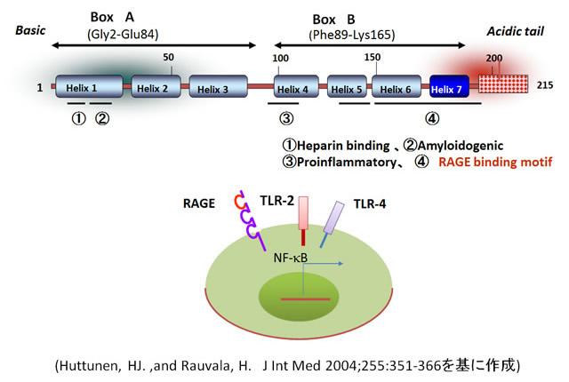 図2.HMGB1の構造とその受容体